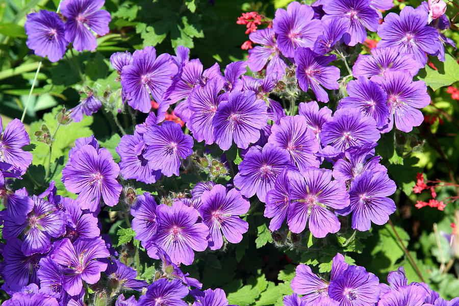 Flowers Photograph - Purple Perfection by Kevin F Cook