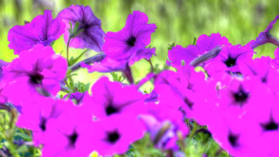 Purple Petunias Photograph