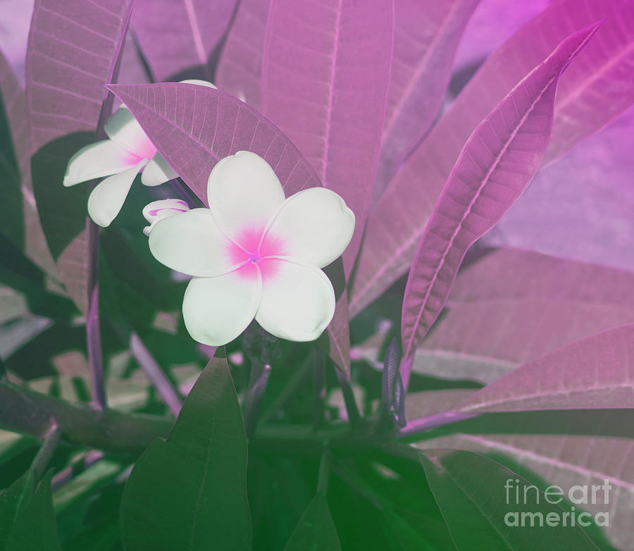 Purple Plumeria Flower Photograph