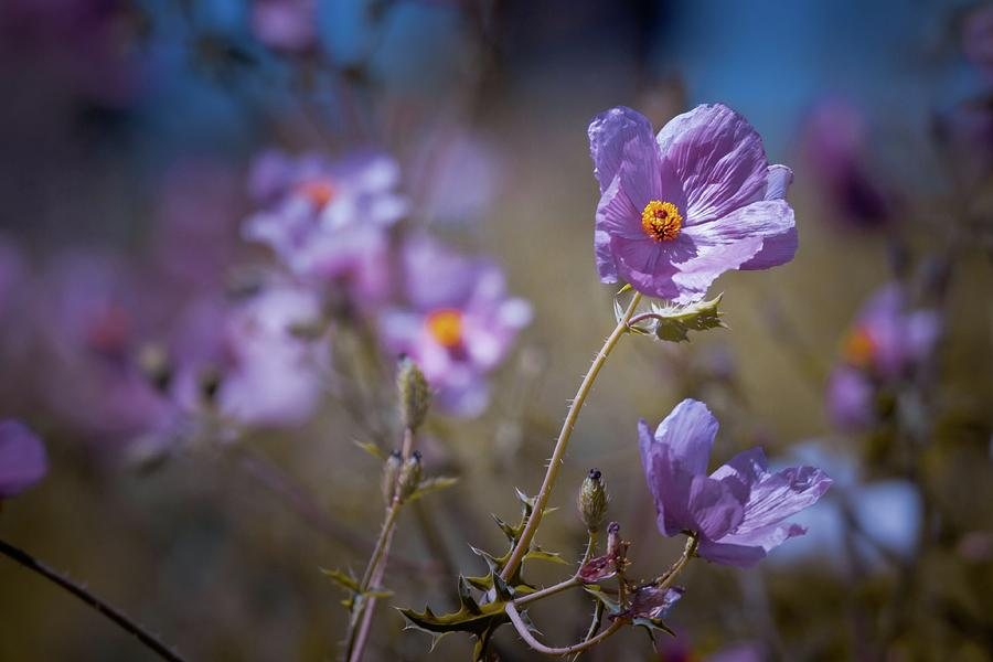 purple poppies photograph by linda unger