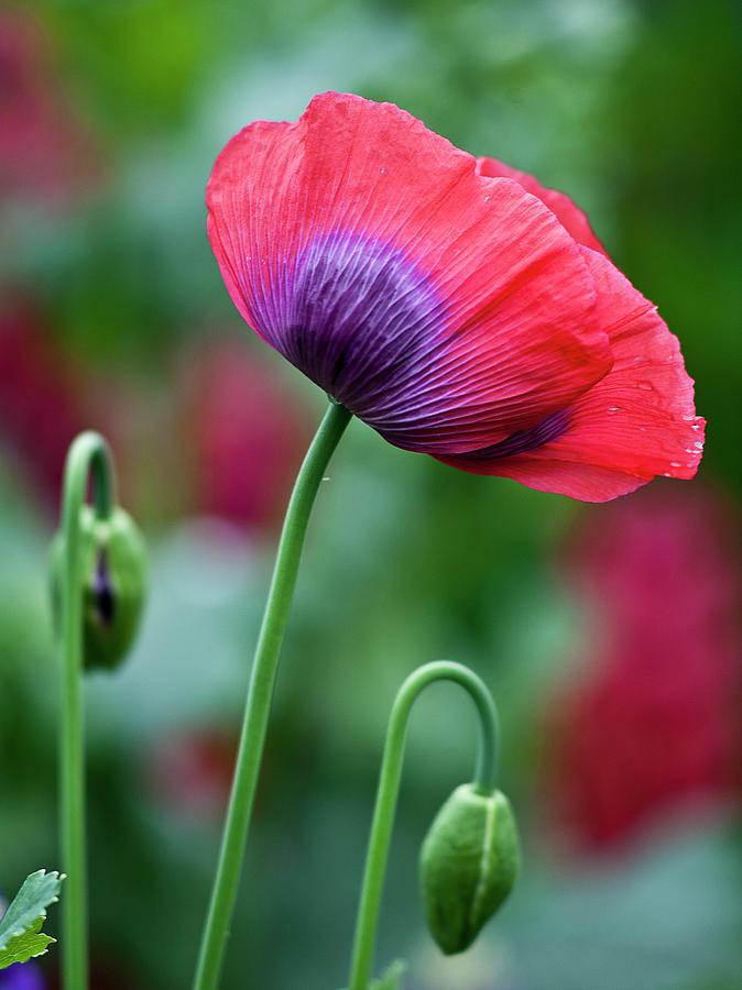 Purple poppy flower photograph by heiko koehrer wagner poppy photograph purple poppy flower by heiko koehrer wagner mightylinksfo