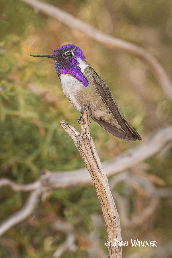 California Photograph - Purple Portrait by Joan Wallner
