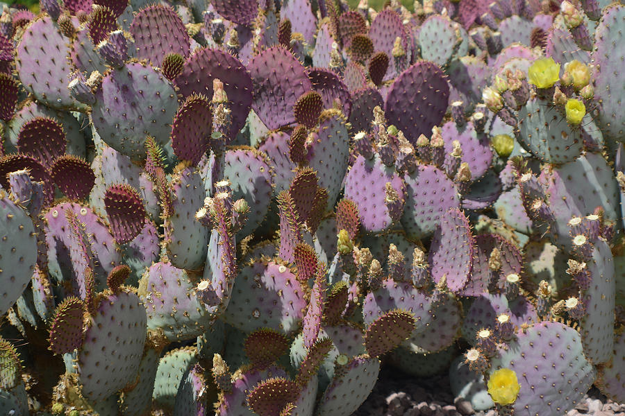 Cactus Photograph - Purple Prickly Pear 2 by Aimee L Maher ALM GALLERY