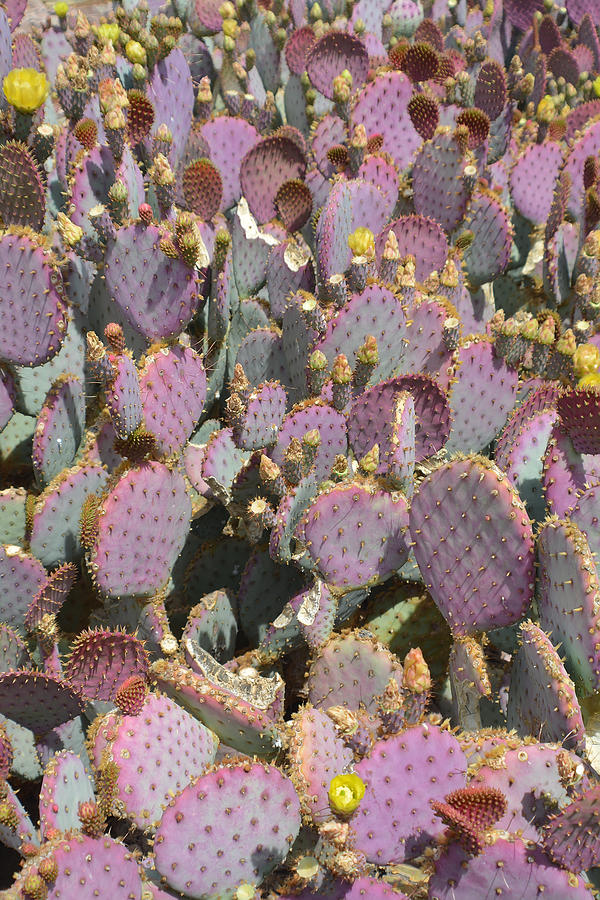 Cactus Photograph - Purple Prickly Pear 3 by Aimee L Maher ALM GALLERY