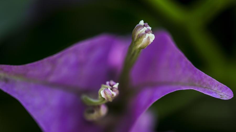 Purple Rest Flower by Paula Porterfield-Izzo
