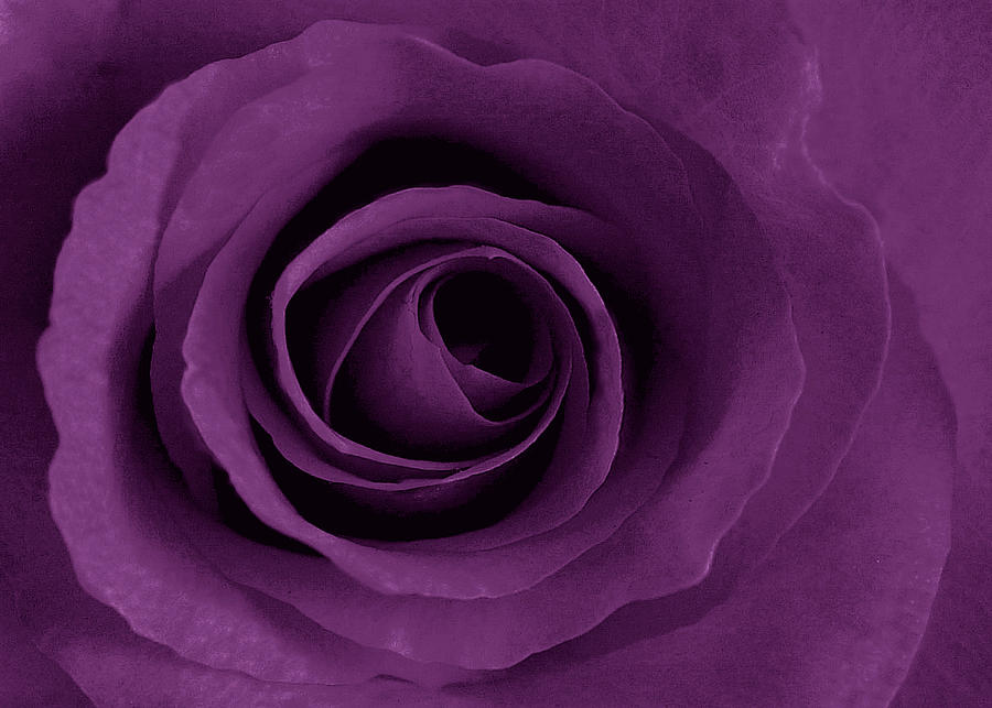 Rose Photograph - Purple Rose Of Artsy by Leonard Rosenfield