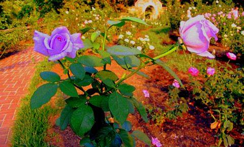 Purple Roses Photograph - Purple Roses by Rebecca  Both
