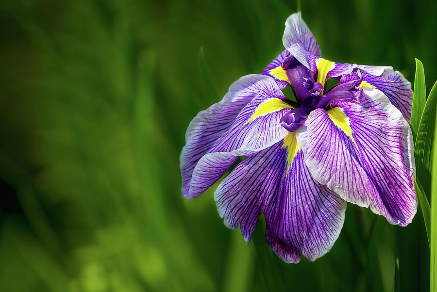 Siberian Photograph - Purple Siberian Iris Flower Closeup by David Gn