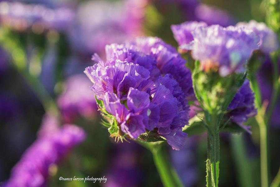 Purple Straw Flower by Nance Larson