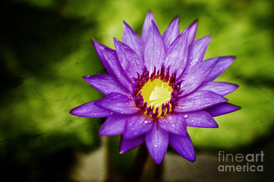 Water Lilly Photograph - Purple Sunrise by Scott Pellegrin