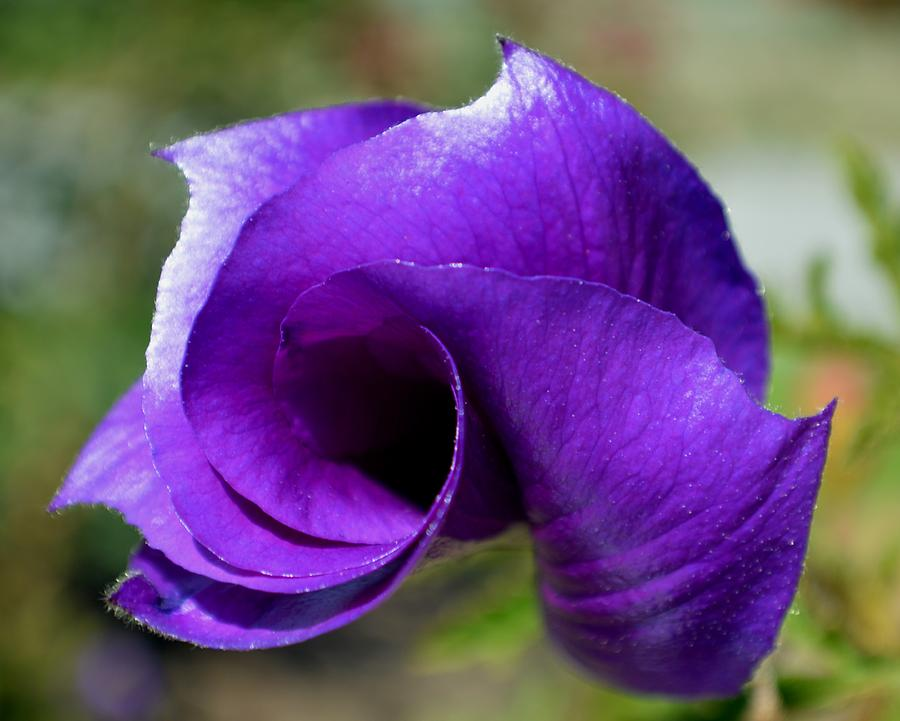 Flower Photograph - Purple Vortex by Ekta Gupta