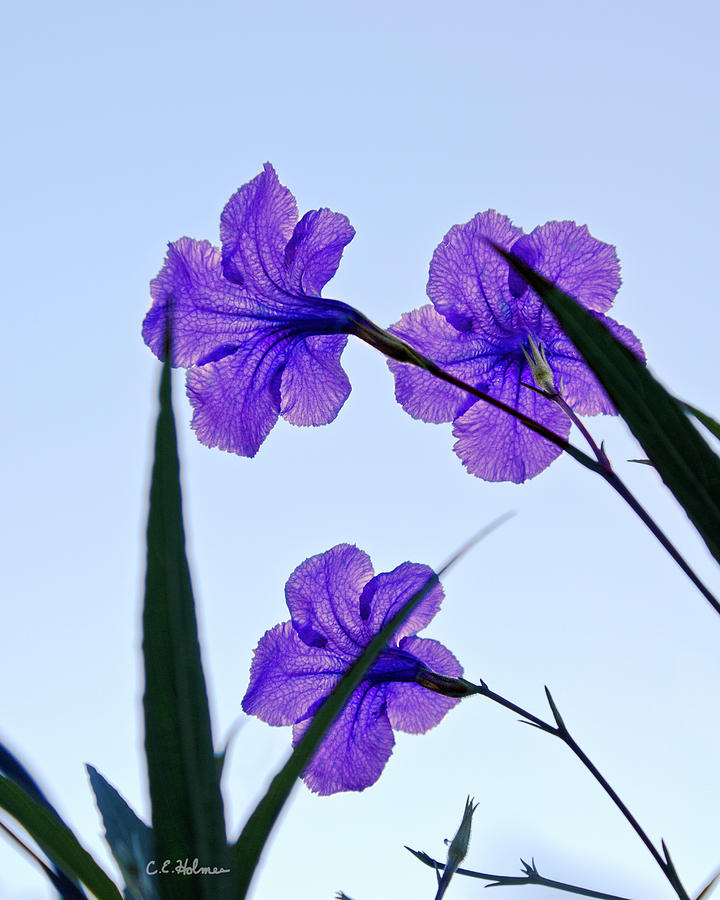 Flower Photograph - Purple Trio by Christopher Holmes