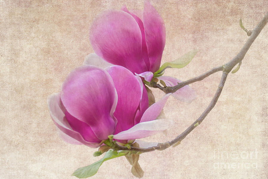 Purple Tulip Magnolia Photograph