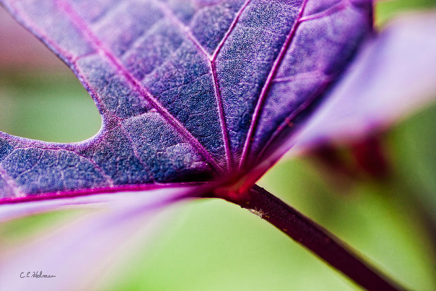 Flora Photograph - Purple Veins by Christopher Holmes