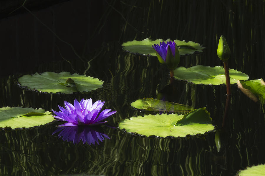 Purple Water Lily by Lindley Johnson