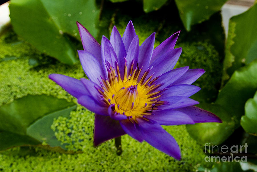 Abstract Photograph - Purple Water Lily by Ray Laskowitz - Printscapes