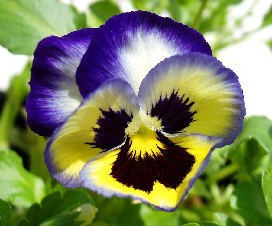 Purple White And Yellow Pansy Photograph By Nancy Mueller