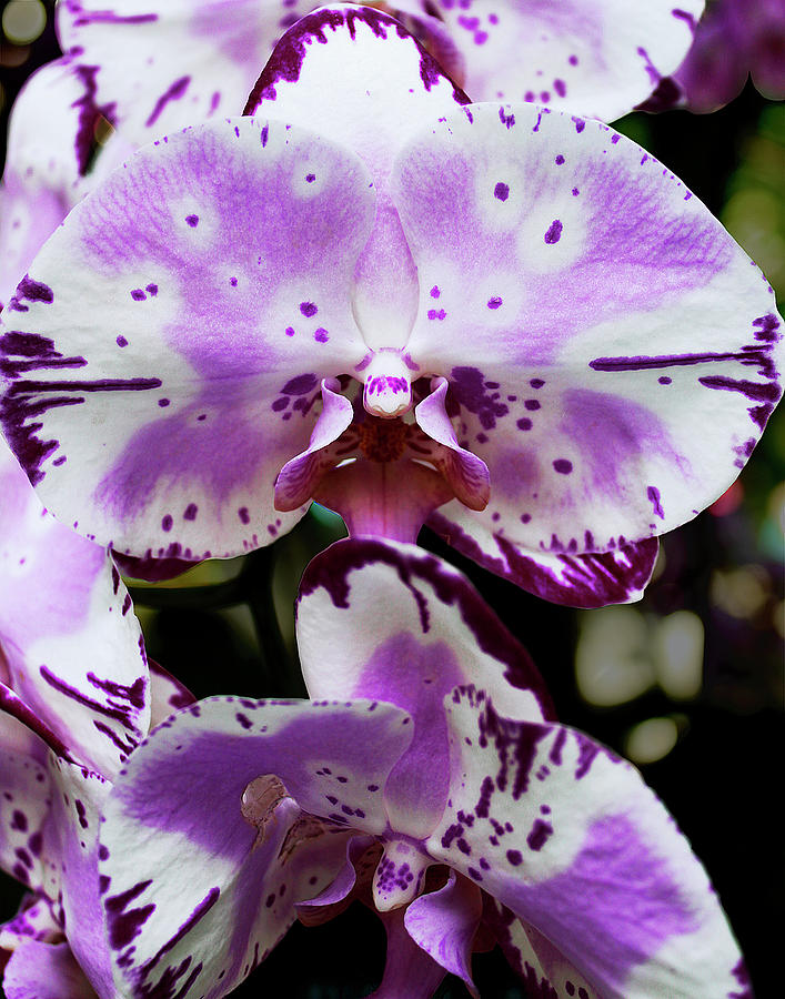 Purple and White Orchid by Melinda Blackman