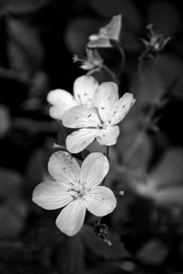 Wildflower Photograph - Purple Wildflower In Black And White  by Michelle  BarlondSmith