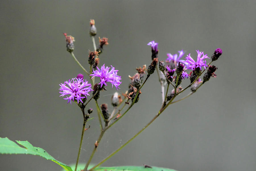 Purple Wildflower In Shiloh National Military Park, Tennessee Photograph