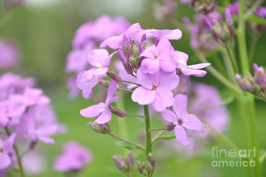 Flower Photograph - Purple Wildflowers Two by Juanita Doll