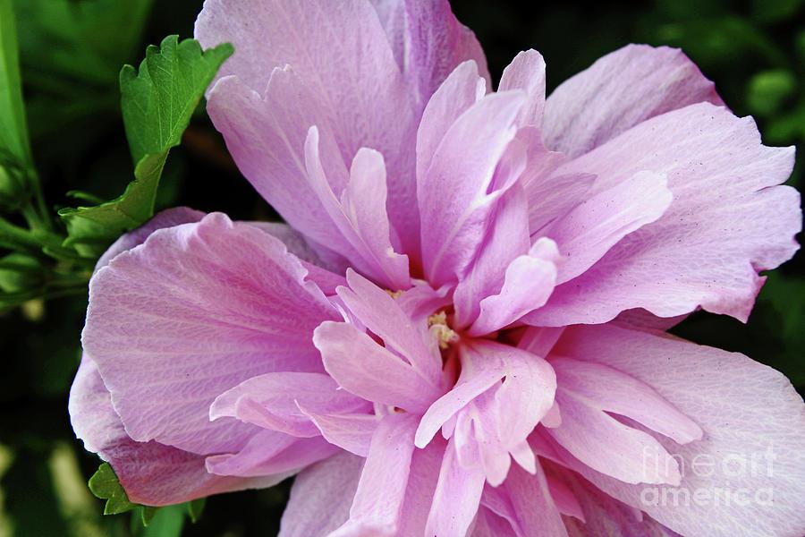 Purplest Pink Photograph