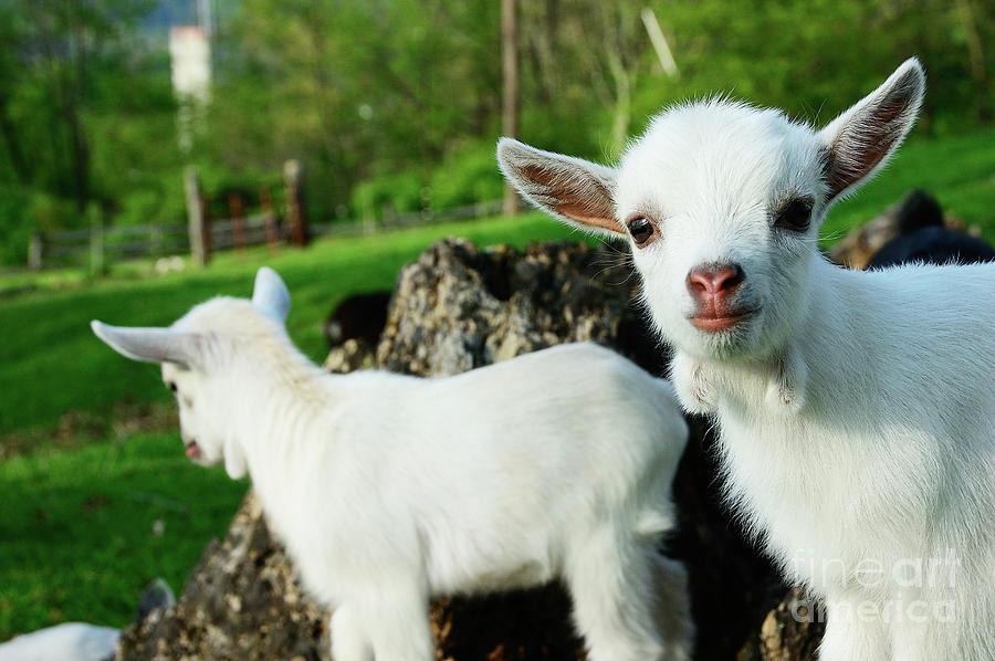 R Goats Pygmy Goat Kids...