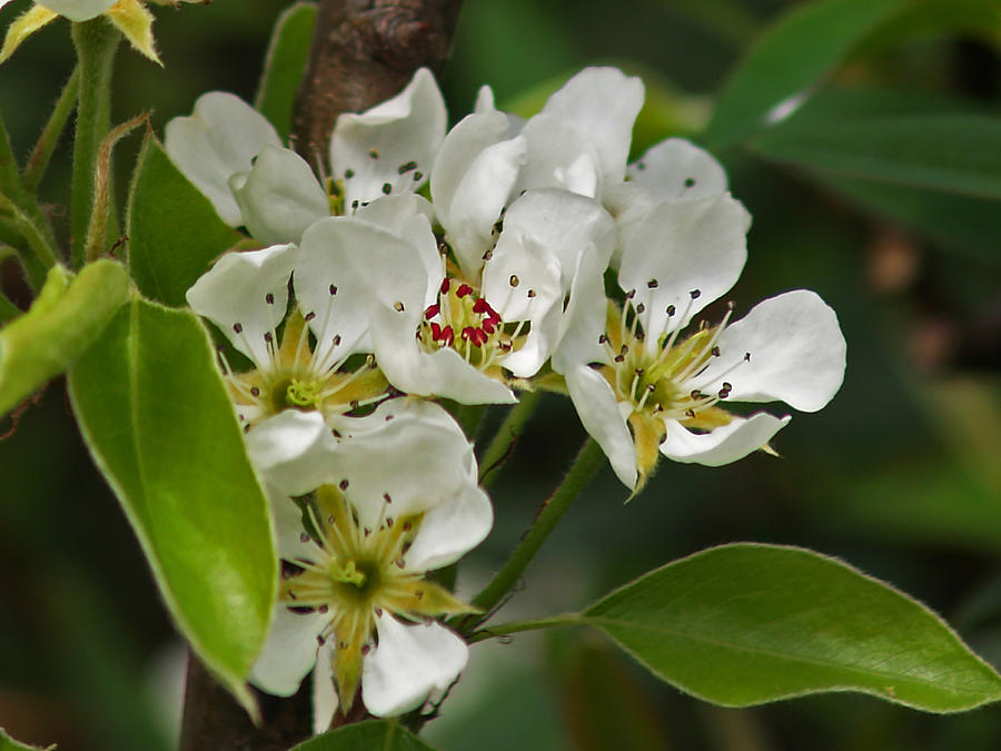 Blossom Photograph - Pyrus Communis Conference by Steve Watson
