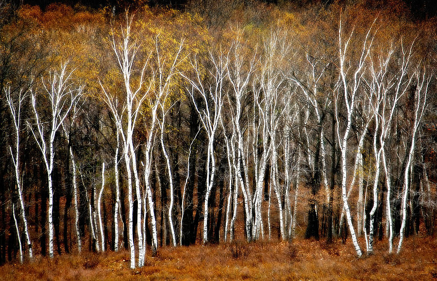 Birch Trees Photograph - Quabbin Birches by Richard Danek