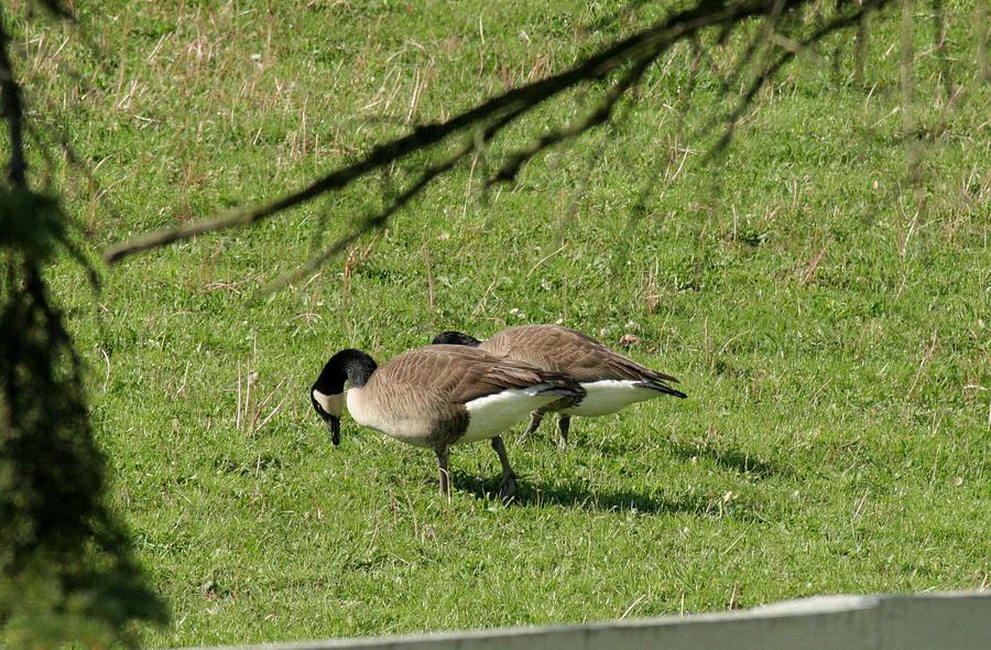 Geese Photograph - Quacking Around by ShadowWalker RavenEyes Dibler