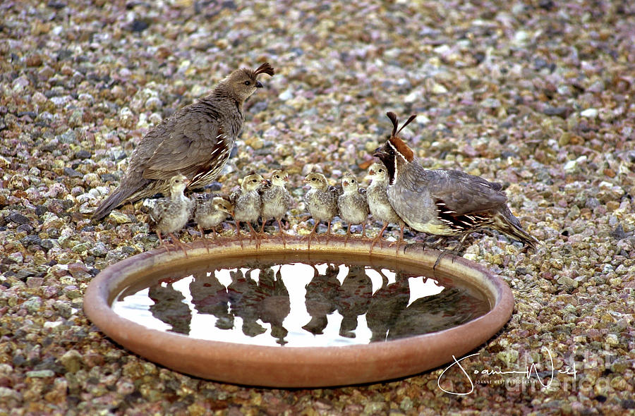 Quail Family Gathering AZ by Joanne West