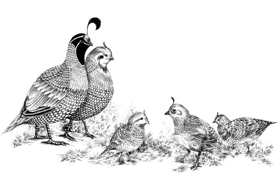 Line Drawing Quail : Quail family outing drawing by alice chen