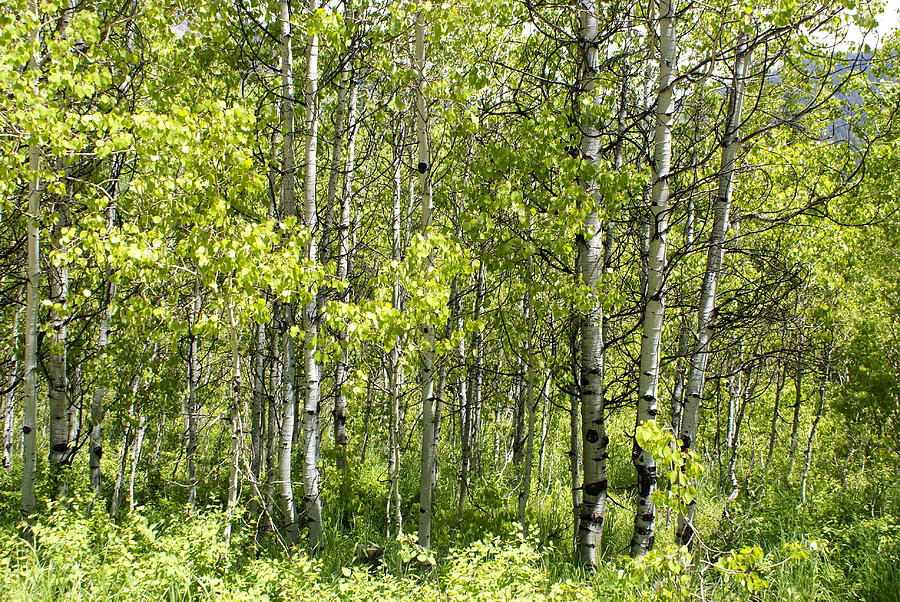 Landscapes Photograph - Quaking Aspens 2 by Cynthia Powell
