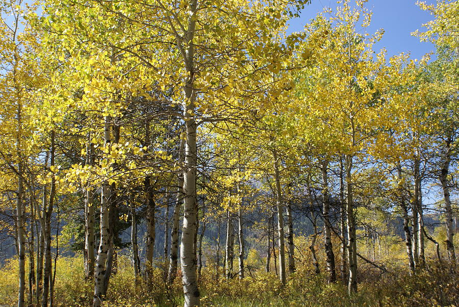 Landscapes Photograph - Quaking Aspens by Cynthia Powell