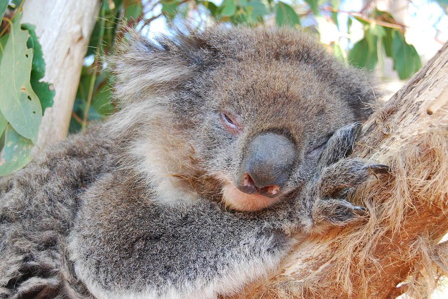 Koala Photograph - Koala by AJ Harlan