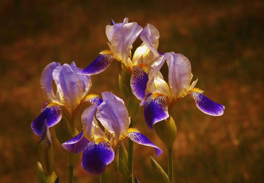 Quarto Iris by Barbara St Jean
