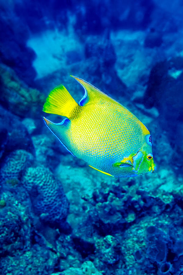 Queen Angelfish I by Perla Copernik