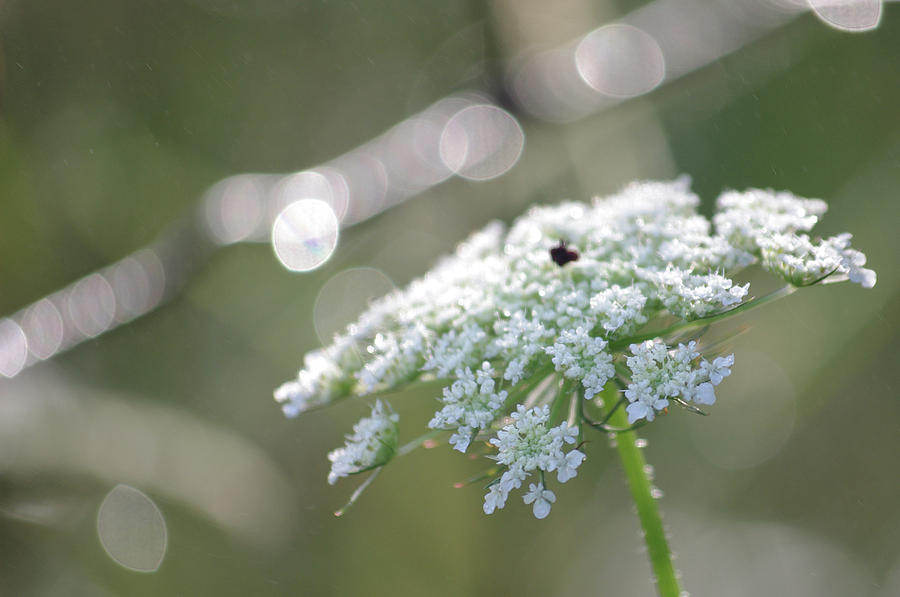 Queen Anne's Lace Photograph - Queen Anne In The Morning 2 by Merrill Miller