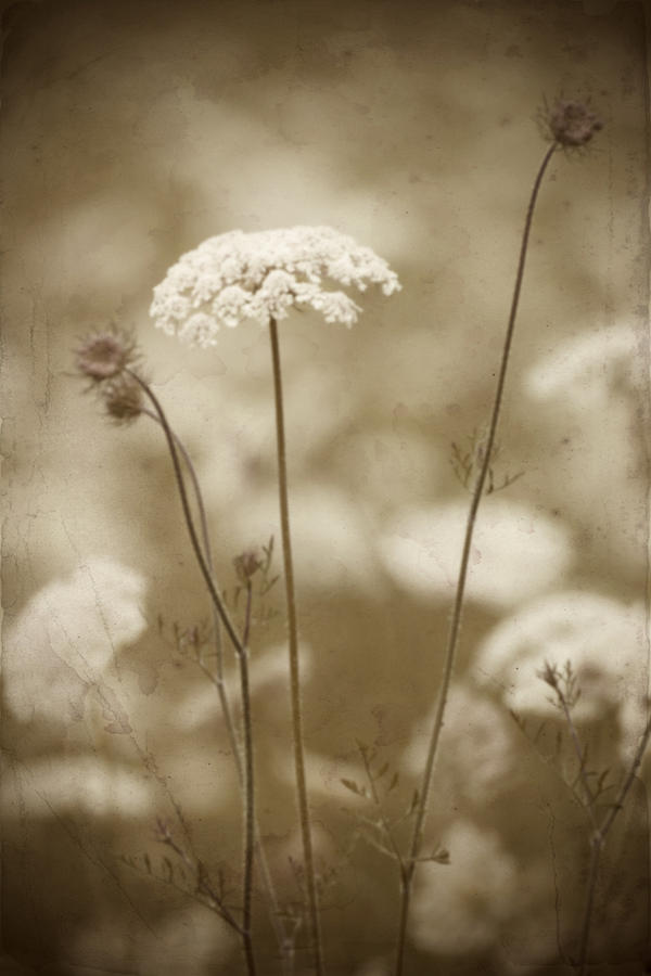Queen Anne Lace by Jeff Mize