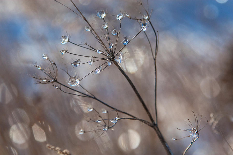 Nature Photograph - Queen Annes Ice by Jane Melgaard