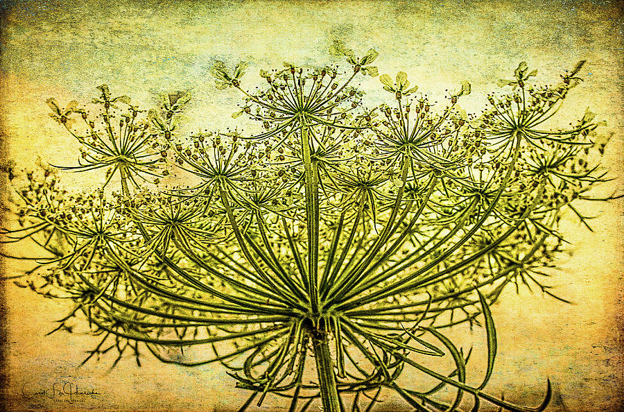 Queen Anne's Lace at Sunrise by Carol Fox Henrichs