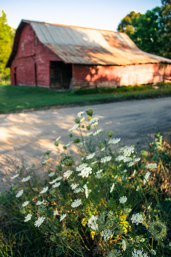 Queen Anne's Lace by the Barn by Parker Cunningham
