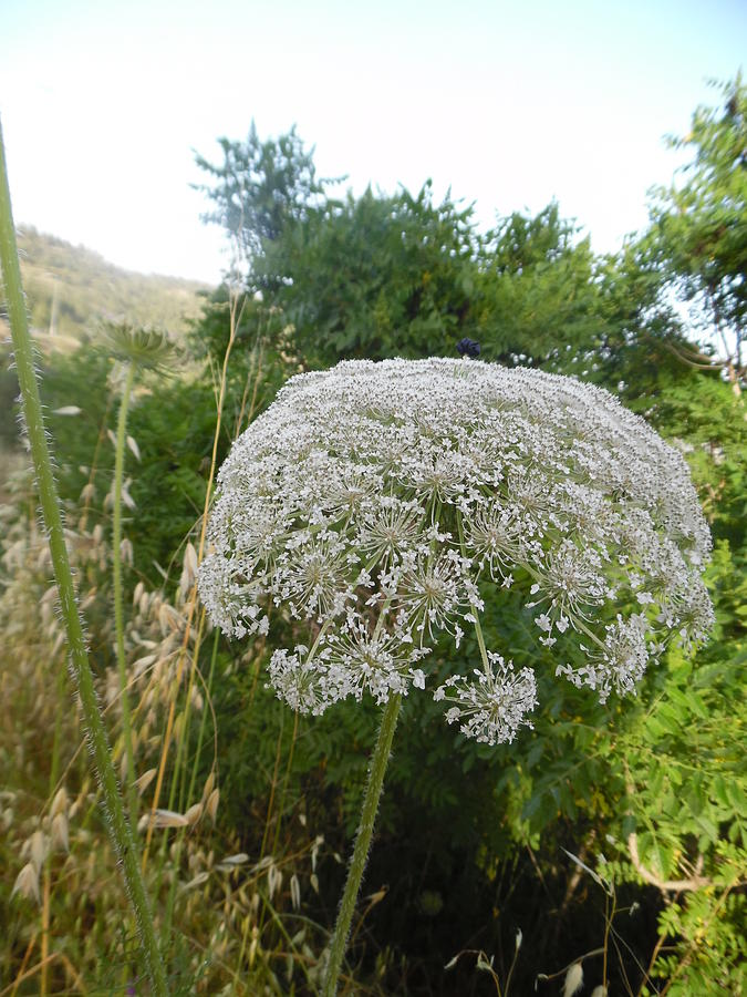 Queen Anne's Lace by Esther Newman-Cohen