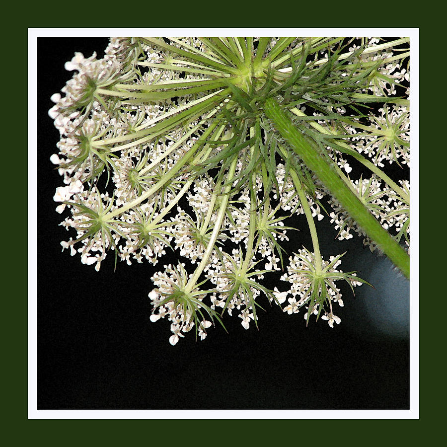 Queen Anne's Lace Photograph - Queen Annes Umbrella by Ginger Howland