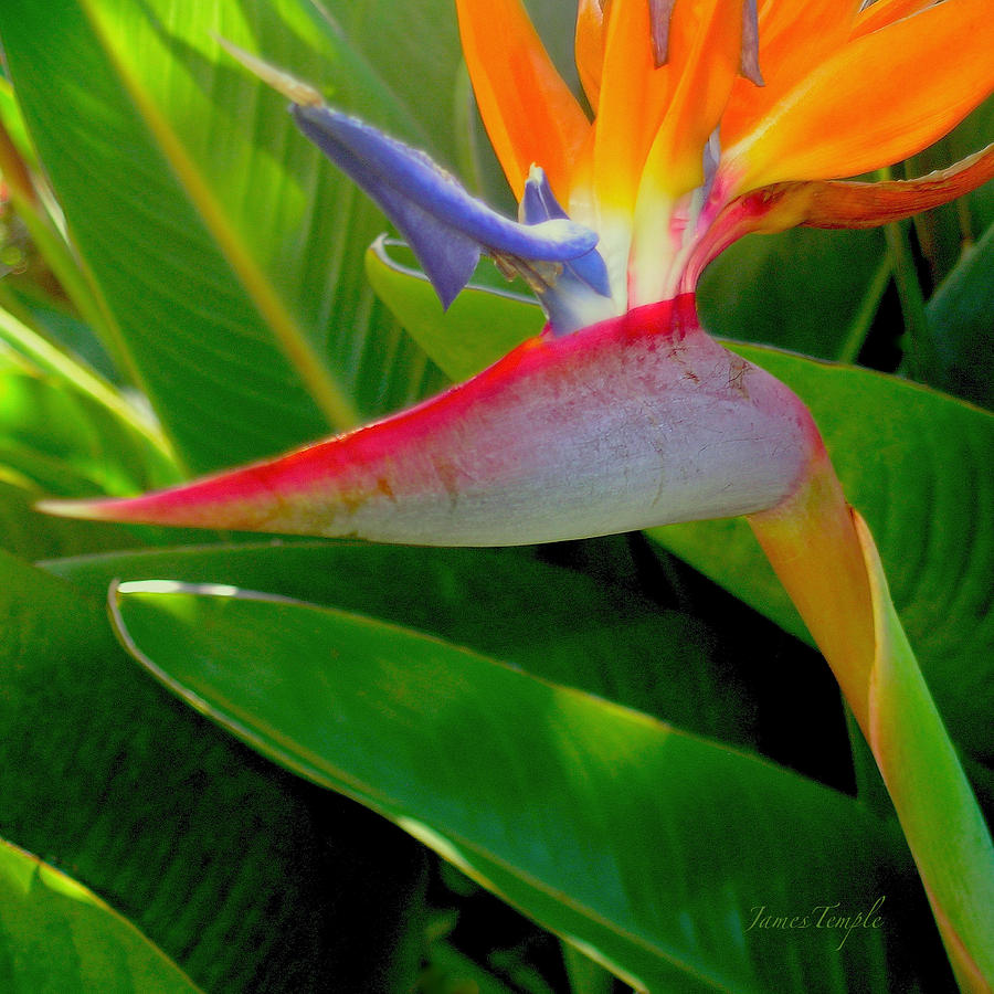Bird Of Paradise Photograph - Queen Charlotte by James Temple