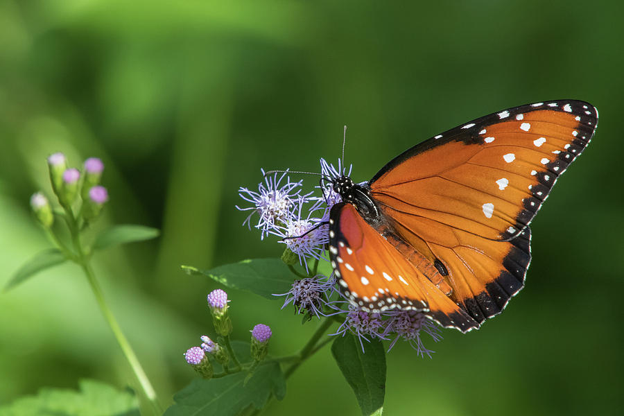 Queen, Danaus gilippus by Jim and Lynne Weber