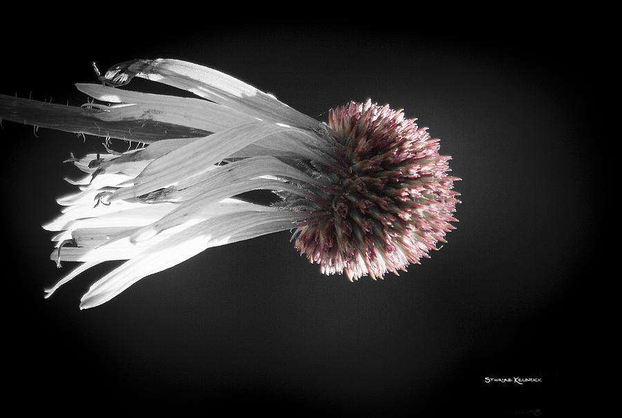 Flower Photograph - Queen Medusa by Stwayne Keubrick