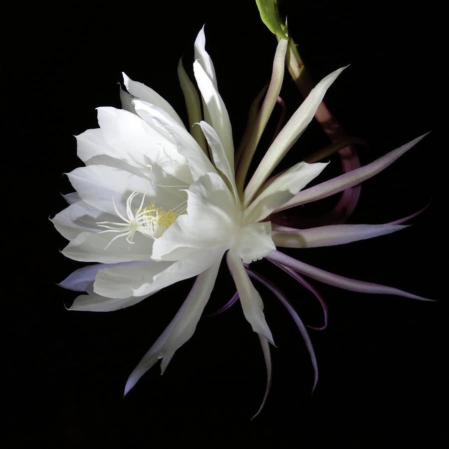 Epiphyllum Oxypetalum Photograph - Queen Of The Night by Robin Street-Morris