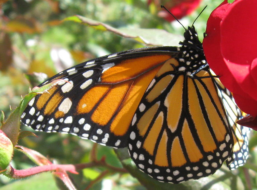 Monarch Photograph - Queen Of The Roses by Sharon Marcella Marston