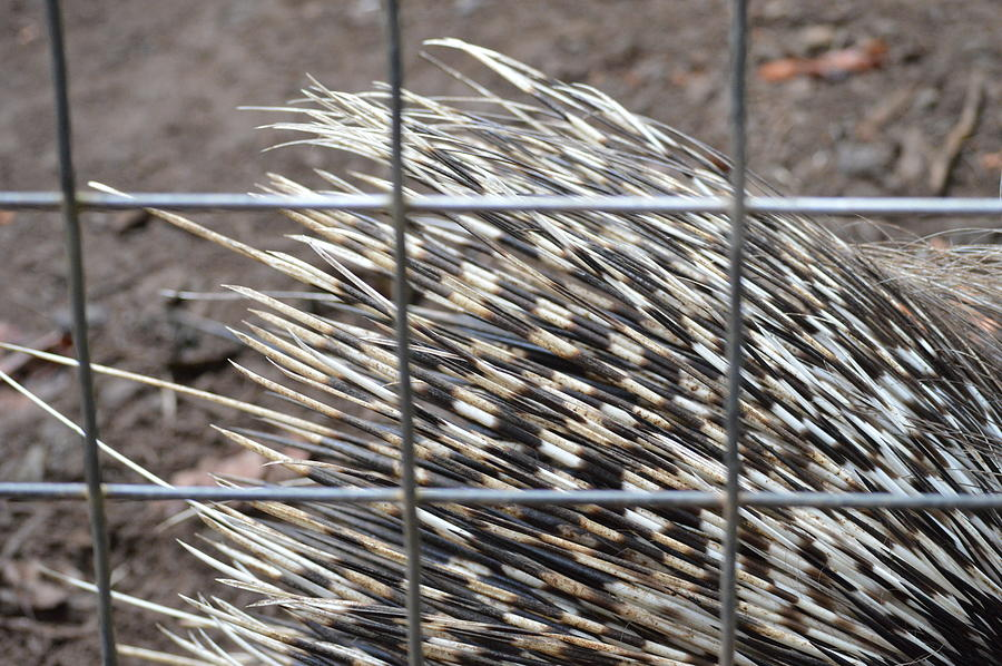 Texture Photograph - Quills Of An African Porcupine by Linda Geiger
